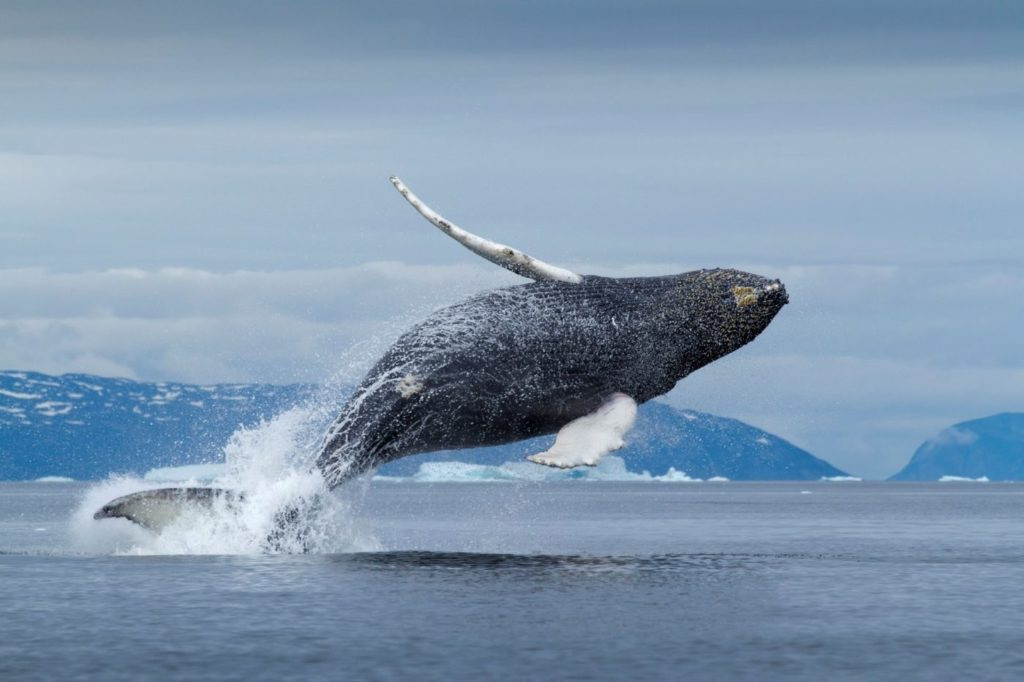Offbeat sightseeing of whales in Greenland